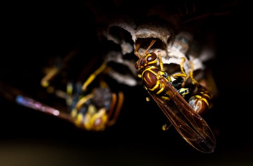 wasp-insect-animal-nature-65598